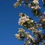 Apfelblüte (Fischingen 2014)